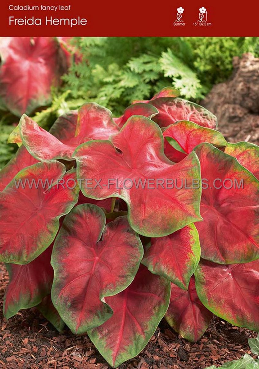 caladium fancy leaved freida hemple mammoth 50 pcarton