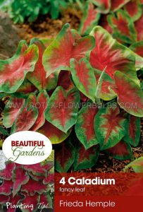 CALADIUM FANCY LEAVED 'FREIDA HEMPLE' NO.2 (15 PKGS.X 4)