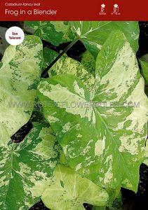 CALADIUM FANCY LEAVED 'FROG IN A BLENDER' JUMBO (100 P.CARTON)