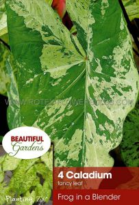 CALADIUM FANCY LEAVED 'FROG IN A BLENDER' NO.2 (15 PKGS.X 4)