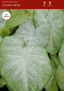 CALADIUM FANCY LEAVED 'GARDEN WHITE' JUMBO (100 P.CARTON)