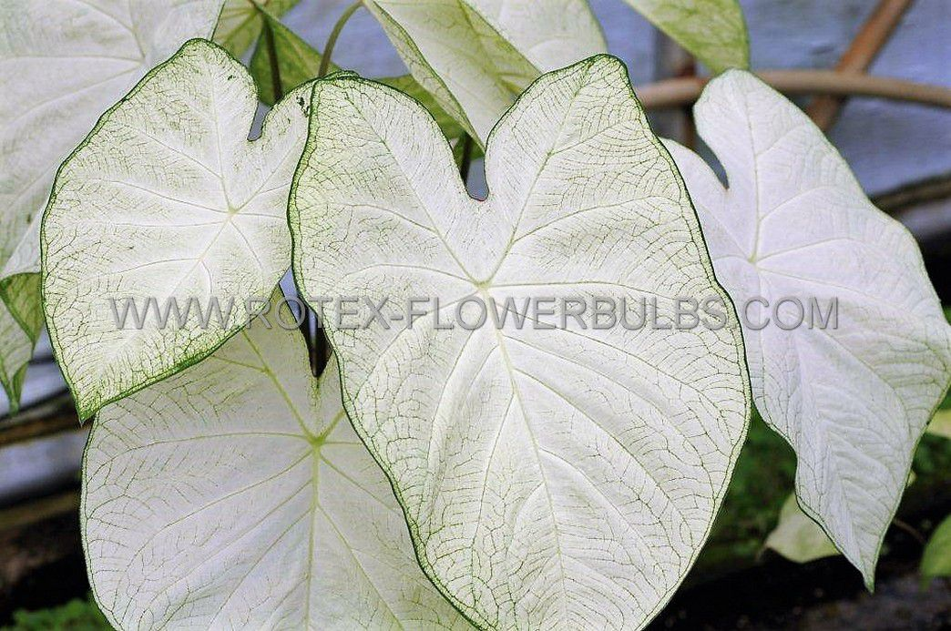 caladium fancy leaved garden white jumbo 100 pcarton