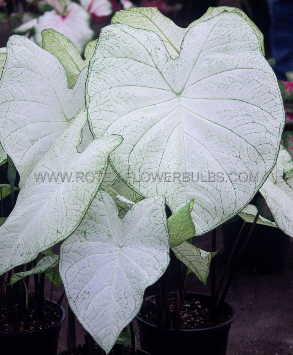 caladium fancy leaved garden white jumbo 100 pcarton