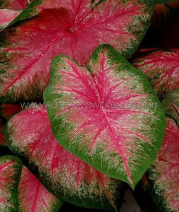 CALADIUM FANCY LEAVED 'HOT PANTS' JUMBO (100 P.CARTON)