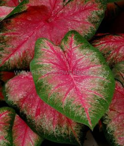 CALADIUM FANCY LEAVED 'HOT PANTS' NO.1 (200 P.CARTON)