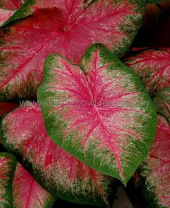 CALADIUM FANCY LEAVED 'HOT PANTS' NO.2 (400 P.CARTON)