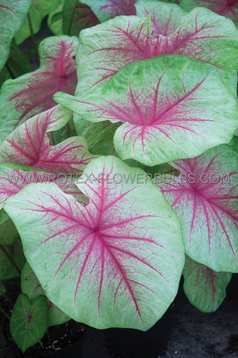 caladium fancy leaved mint julep jumbo 100 pcarton