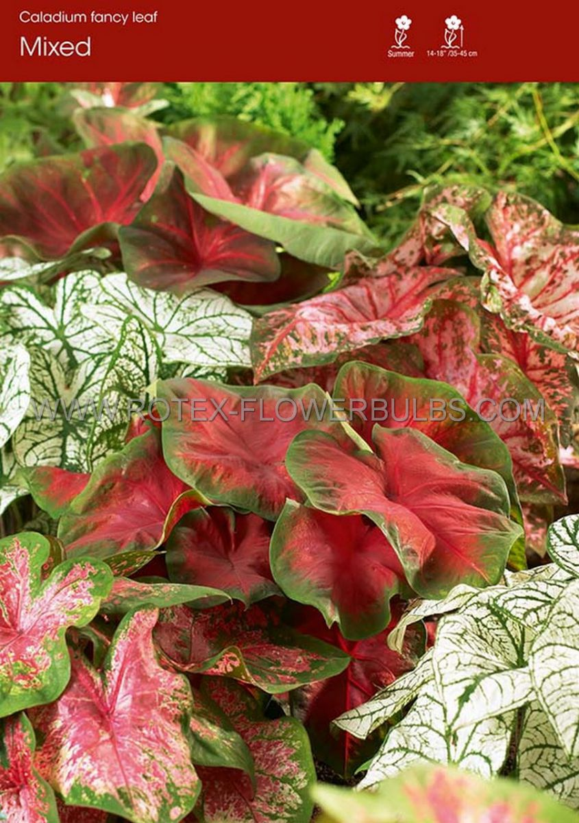caladium fancy leaved mix jumbo 25 pbinbox