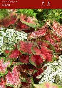 CALADIUM FANCY LEAVED 'MIX' JUMBO (25 P.BINBOX)