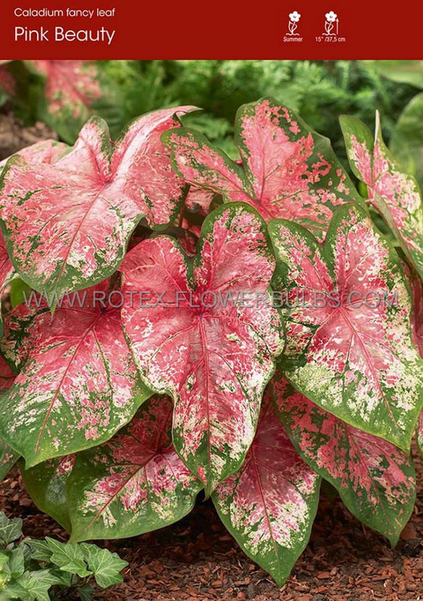 caladium fancy leaved pink beauty jumbo 25 pbinbox