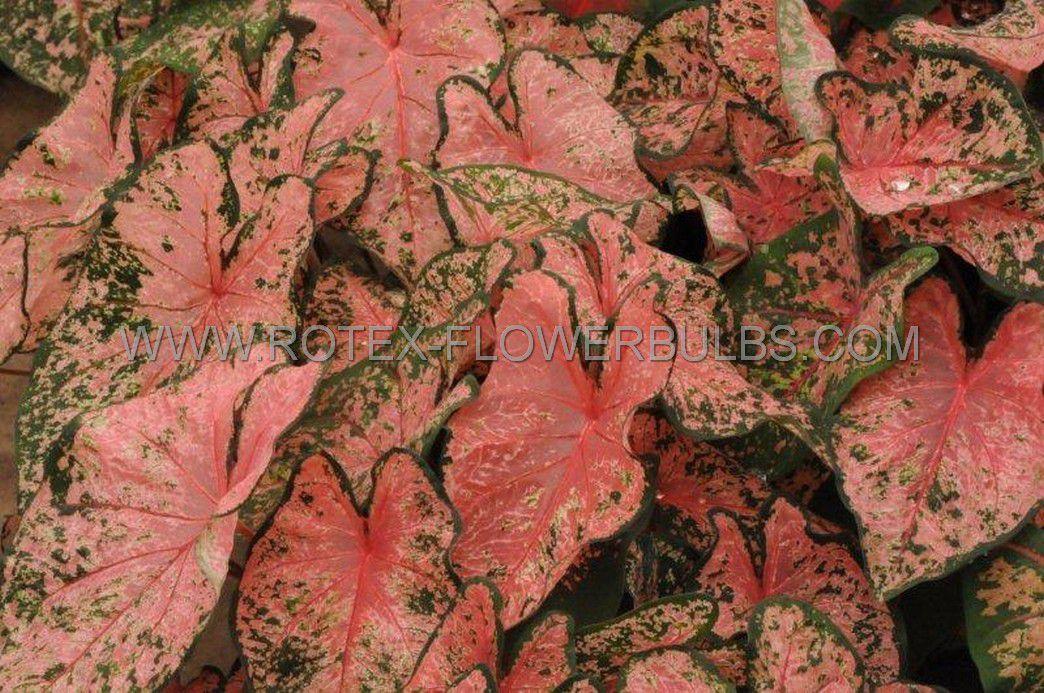 caladium fancy leaved pink beauty mammoth 50 pcarton