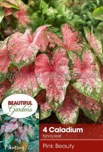CALADIUM FANCY LEAVED 'PINK BEAUTY' NO.2 (15 PKGS.X 4)