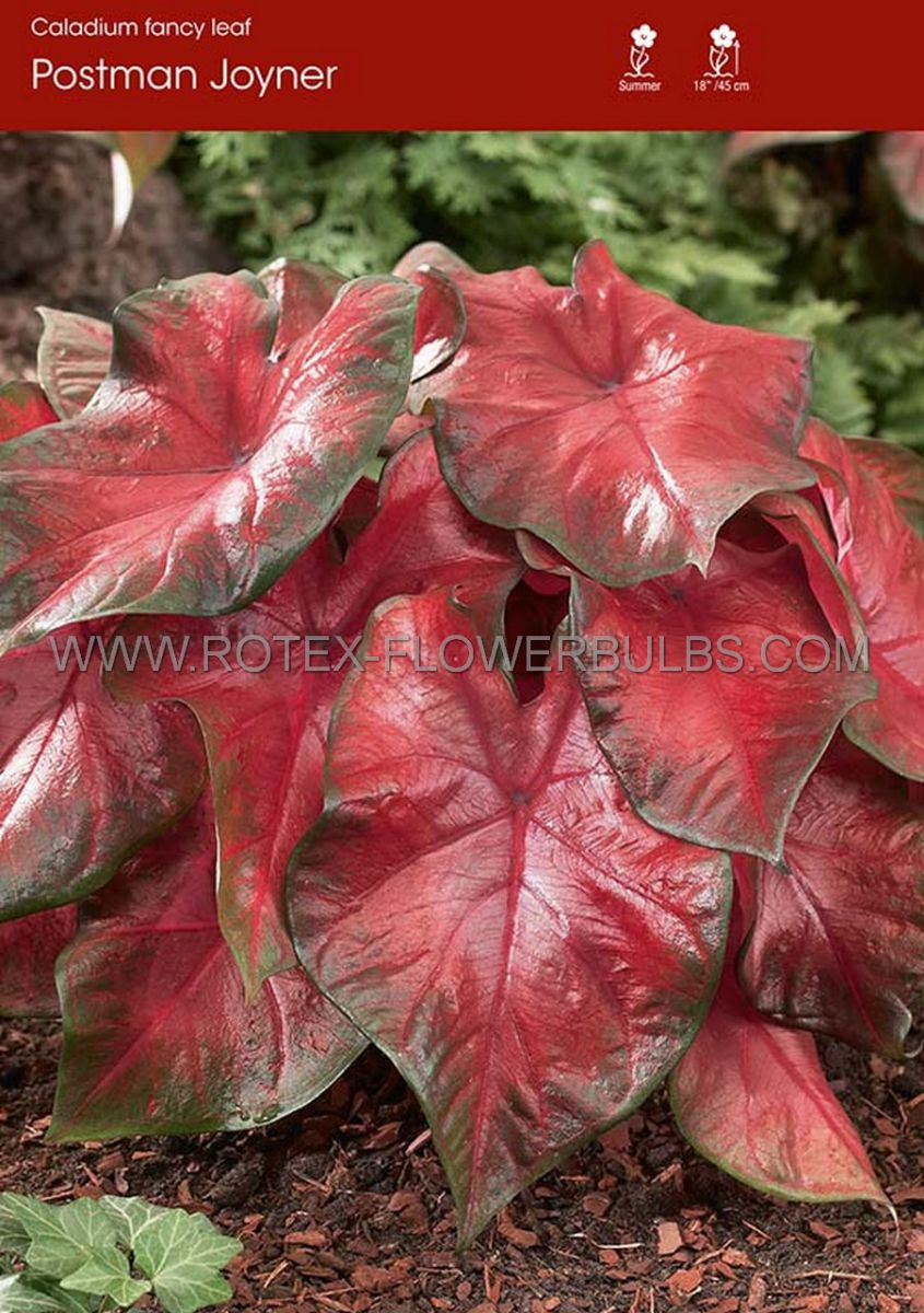 caladium fancy leaved postman joyner no1 50 pbinbox