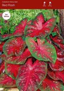 CALADIUM FANCY LEAVED 'RED FLASH' JUMBO (25 P.BINBOX)