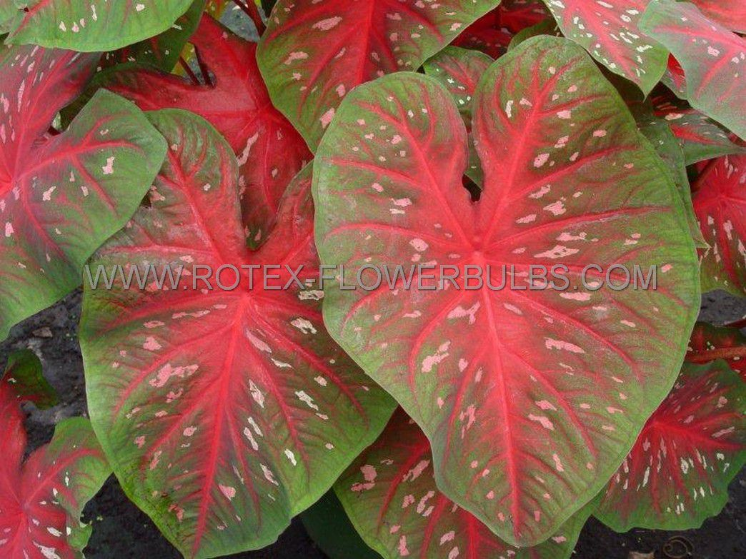 caladium fancy leaved red flash no1 50 pbinbox