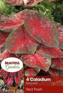 CALADIUM FANCY LEAVED 'RED FLASH' NO.2 (15 PKGS.X 4)