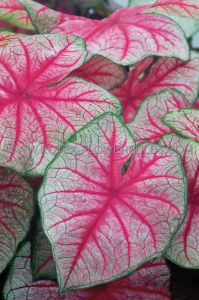CALADIUM FANCY LEAVED 'RHAPSODY' JUMBO (100 P.CARTON)