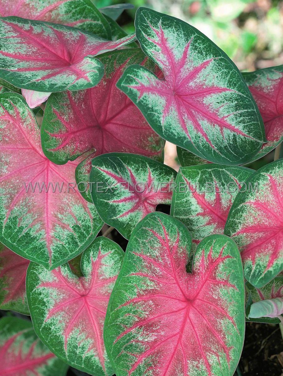caladium fancy leaved rosebud jumbo 100 pcarton