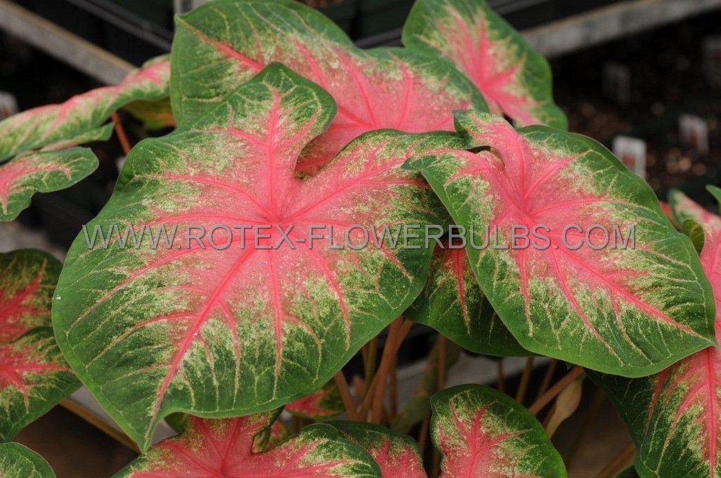 caladium fancy leaved rosebud mammoth 50 pcarton