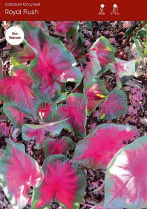 CALADIUM FANCY LEAVED 'ROYAL FLUSH' JUMBO (100 P.CARTON)