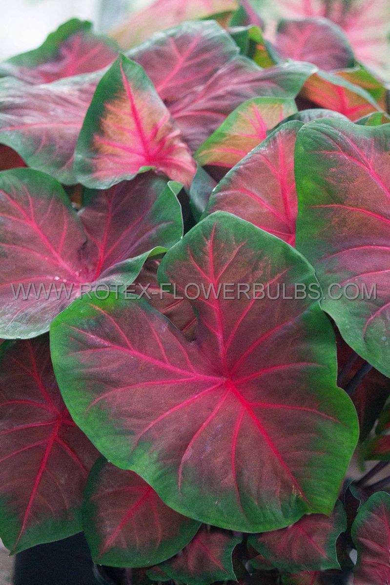 caladium fancy leaved royal flush jumbo 100 pcarton