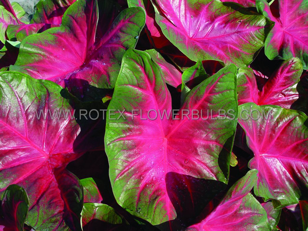 caladium fancy leaved royal flush no2 400 pcarton