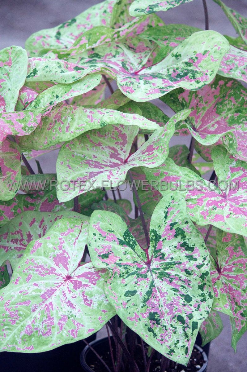 caladium fancy leaved seafoam pink jumbo 100 pcarton