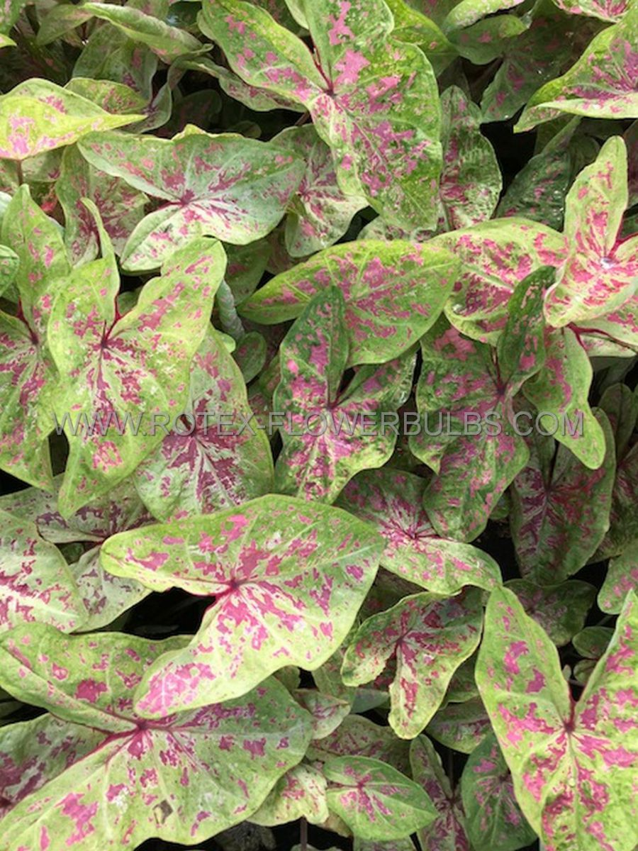 caladium fancy leaved seafoam pink no2 400 pcarton