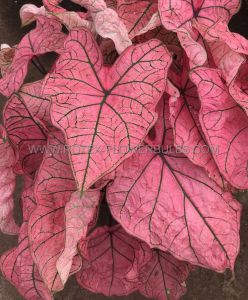 CALADIUM FANCY LEAVED 'SPRING FLING' JUMBO (100 P.CARTON)
