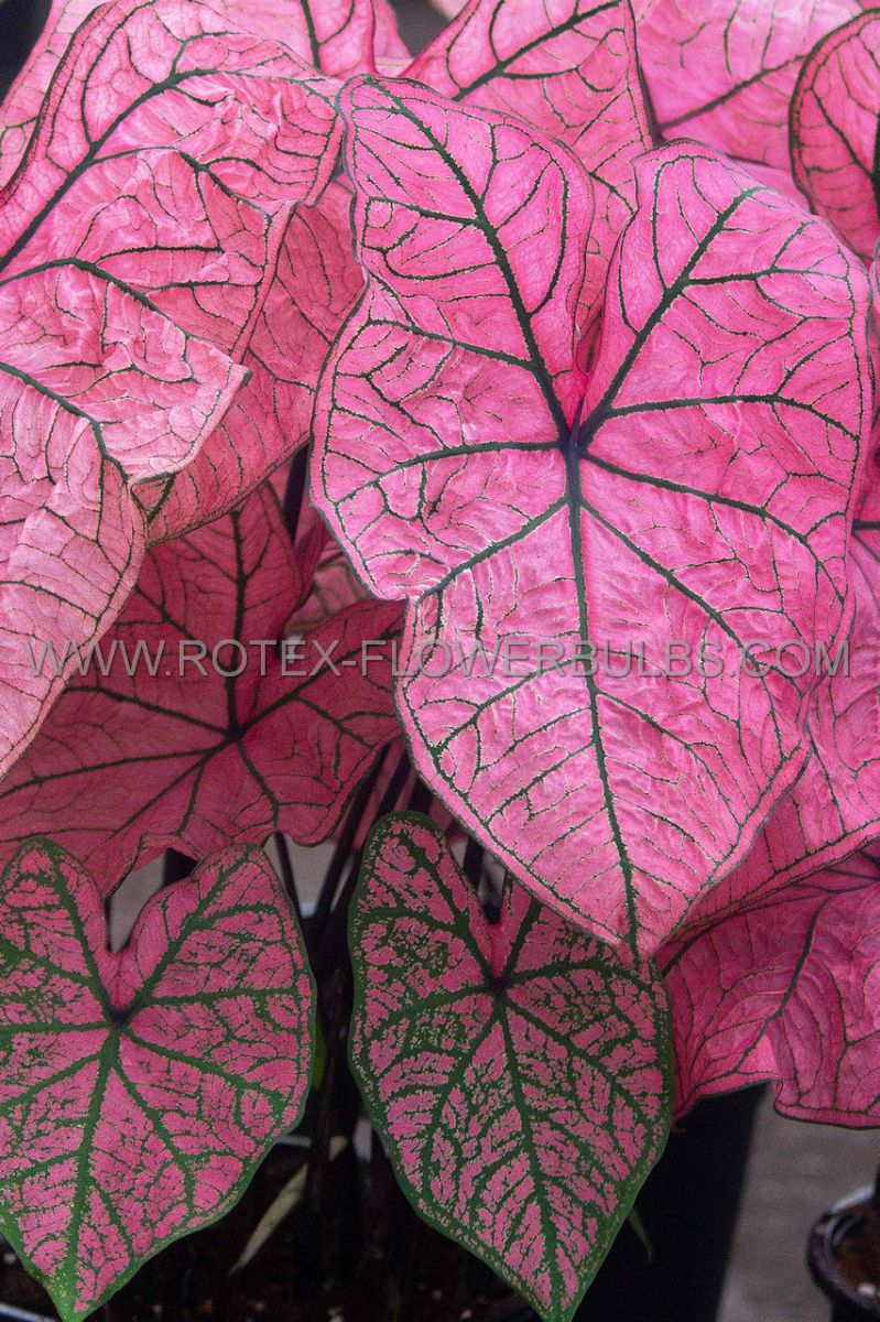 caladium fancy leaved spring fling no1 200 pcarton