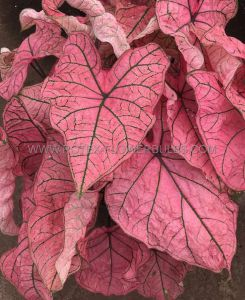CALADIUM FANCY LEAVED 'SPRING FLING' NO.2 (400 P.CARTON)