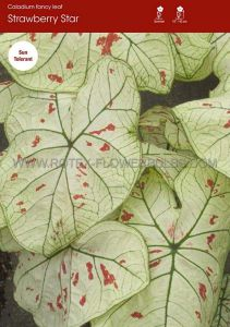 CALADIUM FANCY LEAVED 'STRAWBERRY STAR' JUMBO (100 P.CARTON)