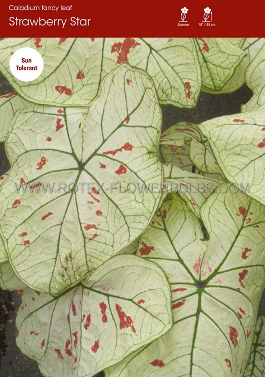 caladium fancy leaved strawberry star no1 50 pbinbox