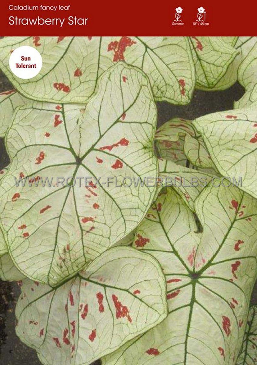 caladium fancy leaved strawberry star no1 50 pbinbox