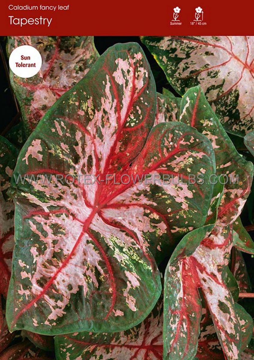 caladium fancy leaved tapestry jumbo 100 pcarton