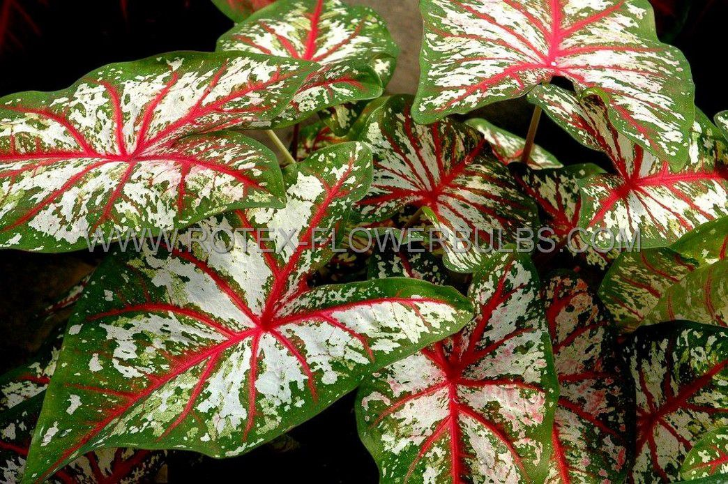 caladium fancy leaved tapestry no1 200 pcarton