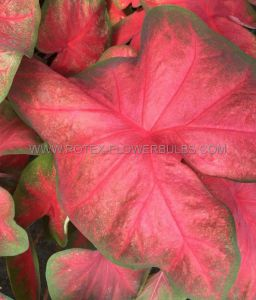 CALADIUM FANCY LEAVED 'TEQUILA SUNRISE' JUMBO (100 P.CARTON)