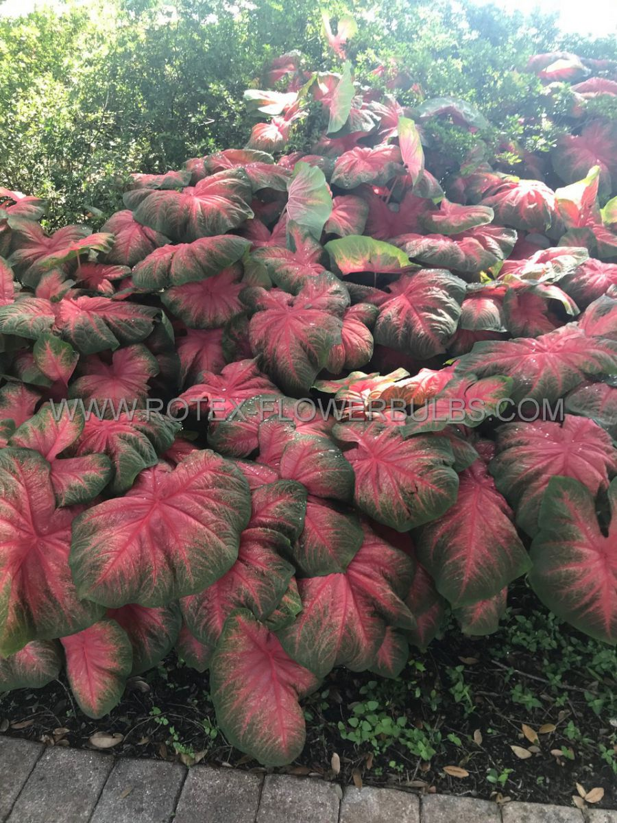 caladium fancy leaved tequila sunrise jumbo 100 pcarton