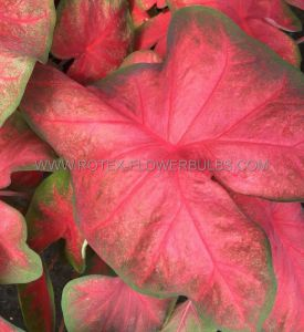 CALADIUM FANCY LEAVED 'TEQUILA SUNRISE' NO.1 (200 P.CARTON)