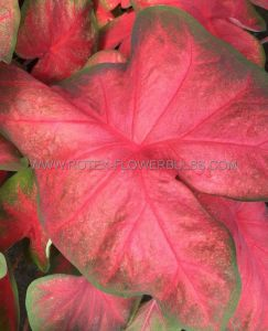 CALADIUM FANCY LEAVED 'TEQUILA SUNRISE' NO.1 (50 P.BINBOX)