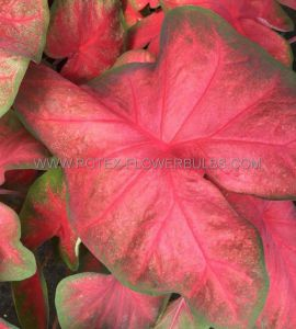 CALADIUM FANCY LEAVED 'TEQUILA SUNRISE' NO.2 (400 P.CARTON)
