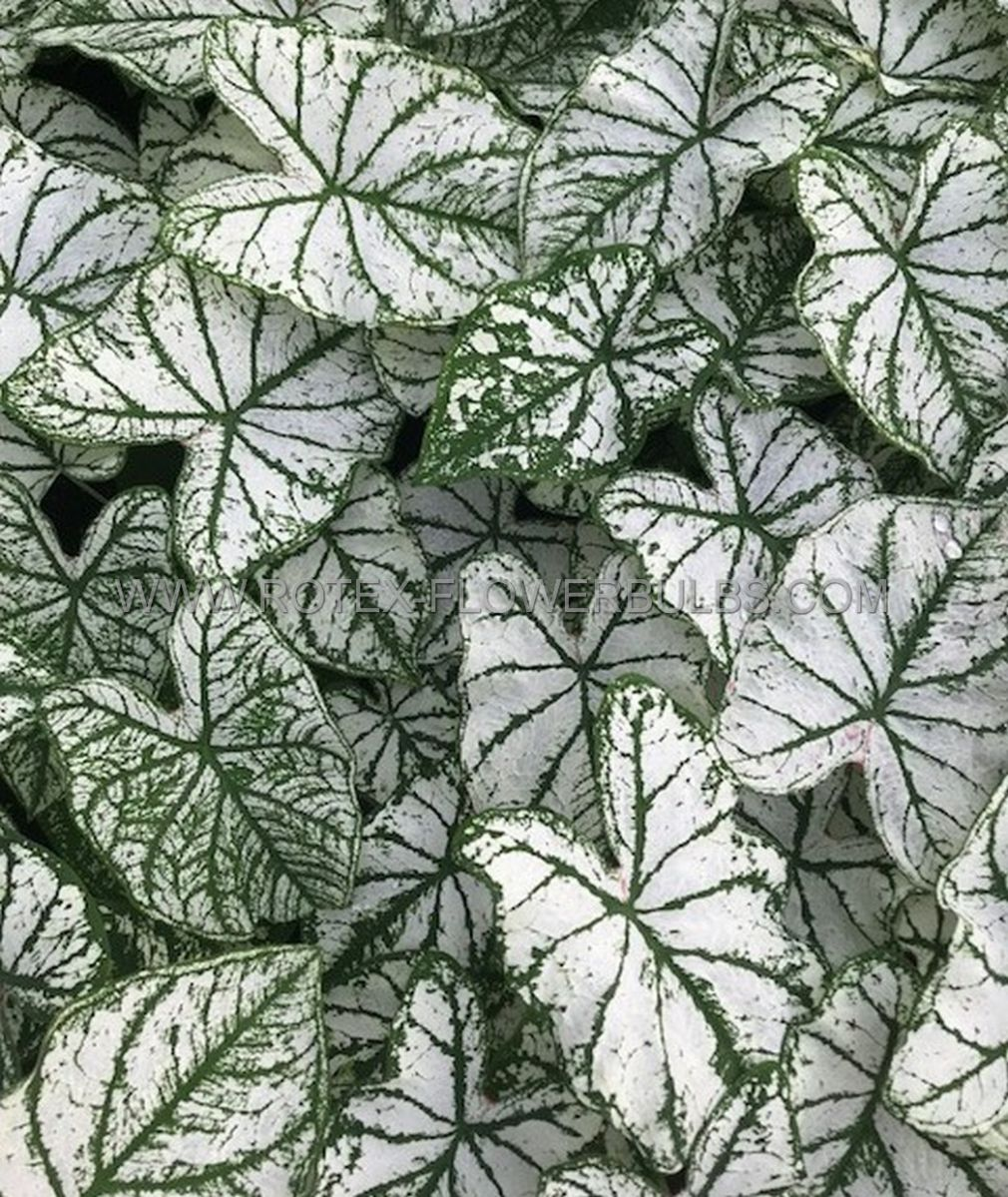 caladium fancy leaved white christmas jumbo 100 pcarton