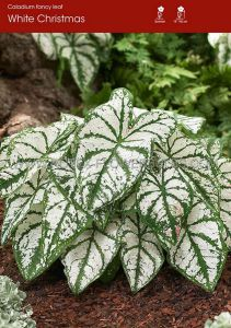 CALADIUM FANCY LEAVED 'WHITE CHRISTMAS' JUMBO (25 P.BINBOX)