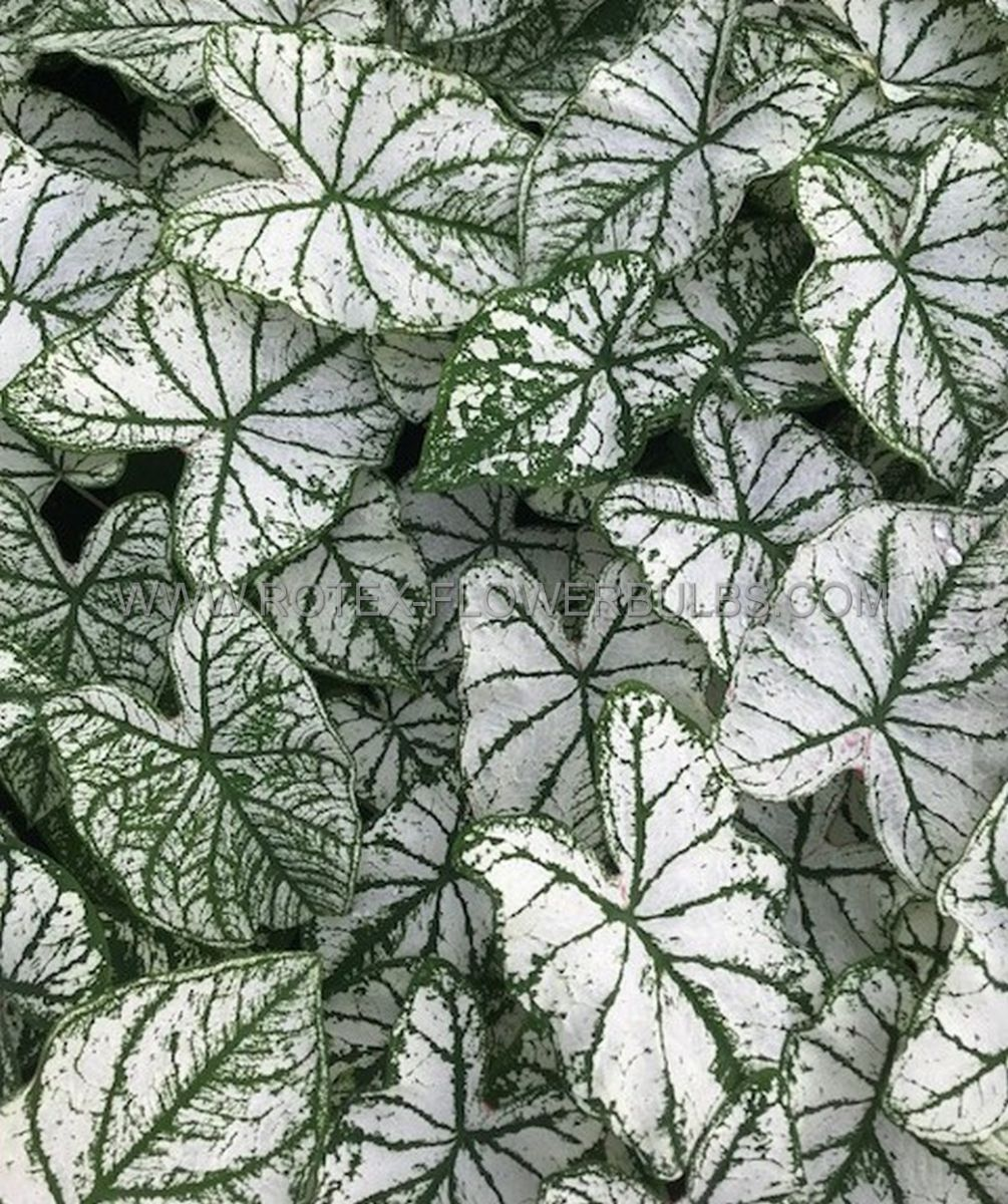 caladium fancy leaved white christmas no1 200 pcarton