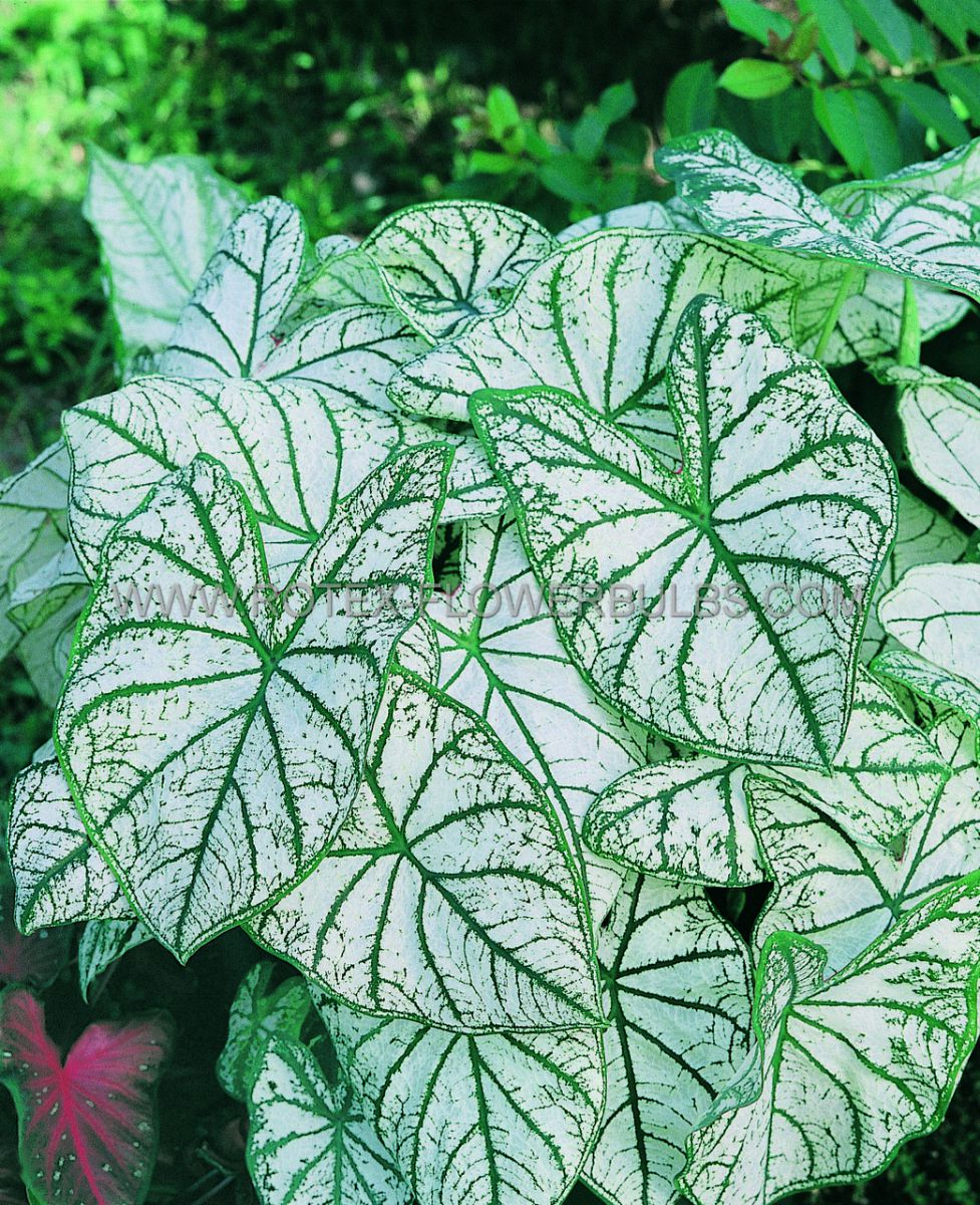 caladium fancy leaved white christmas no1 50 pbinbox