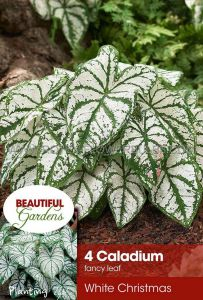 CALADIUM FANCY LEAVED 'WHITE CHRISTMAS' NO.2 (15 PKGS.X 4)