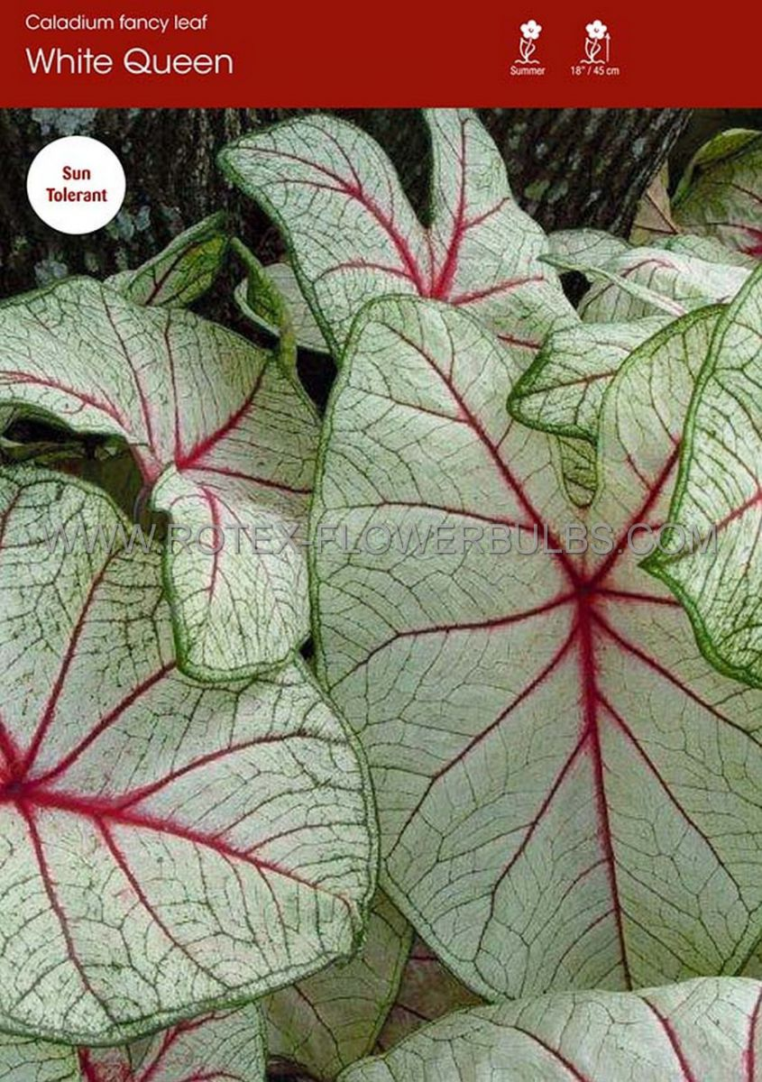 caladium fancy leaved white queen no1 200 pcarton