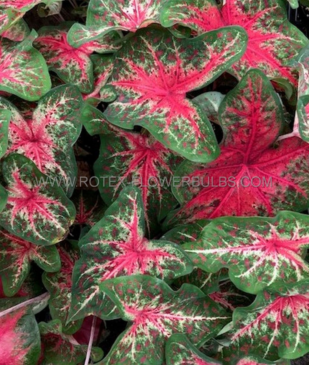 caladium fancy leaved wildfire jumbo 100 pcarton