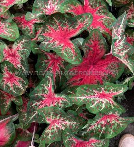 CALADIUM FANCY LEAVED 'WILDFIRE' NO.2 (400 P.CARTON)