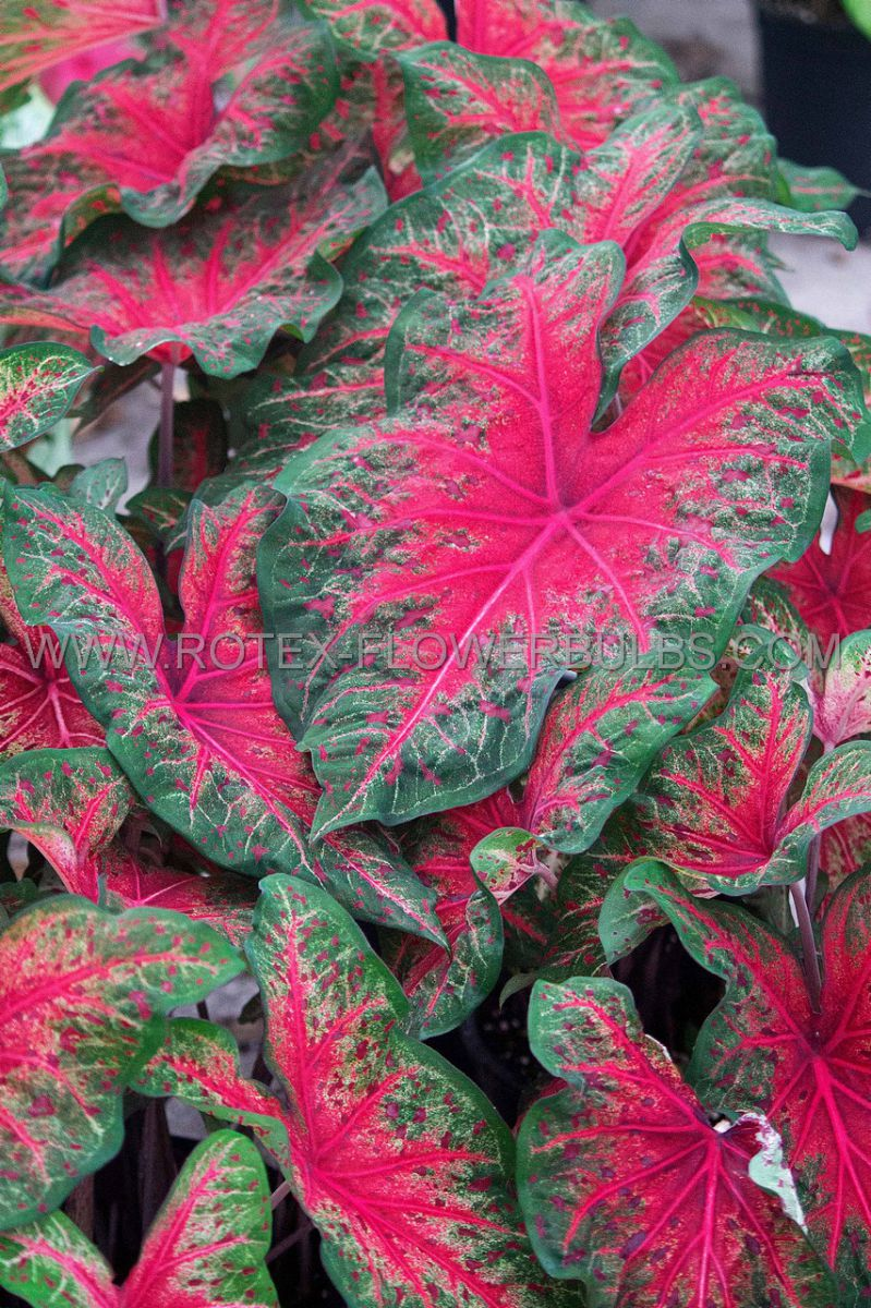 caladium fancy leaved wildfire no2 400 pcarton